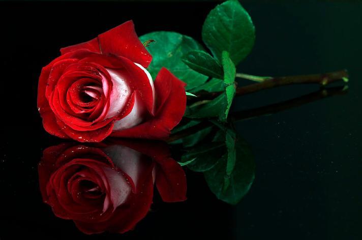red-white-rose-cristobal-garciaferro